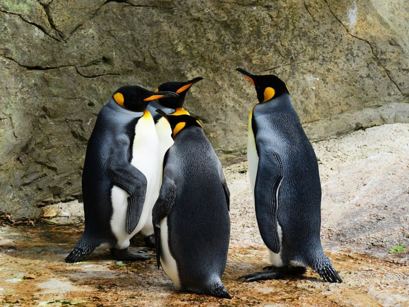 king-penguin-penguins-group-of-penguins-bird-53970